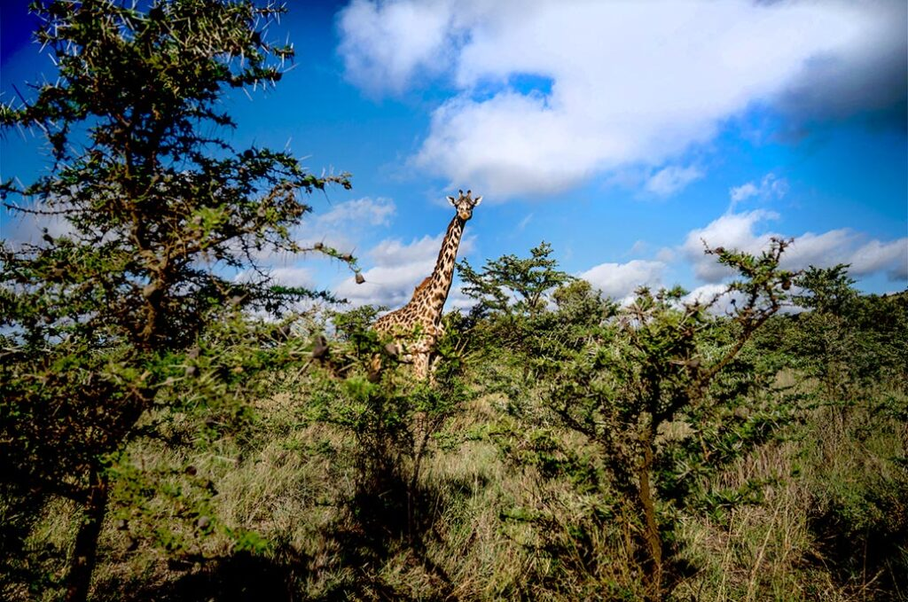 Giraffe in a conservation area in Kenya