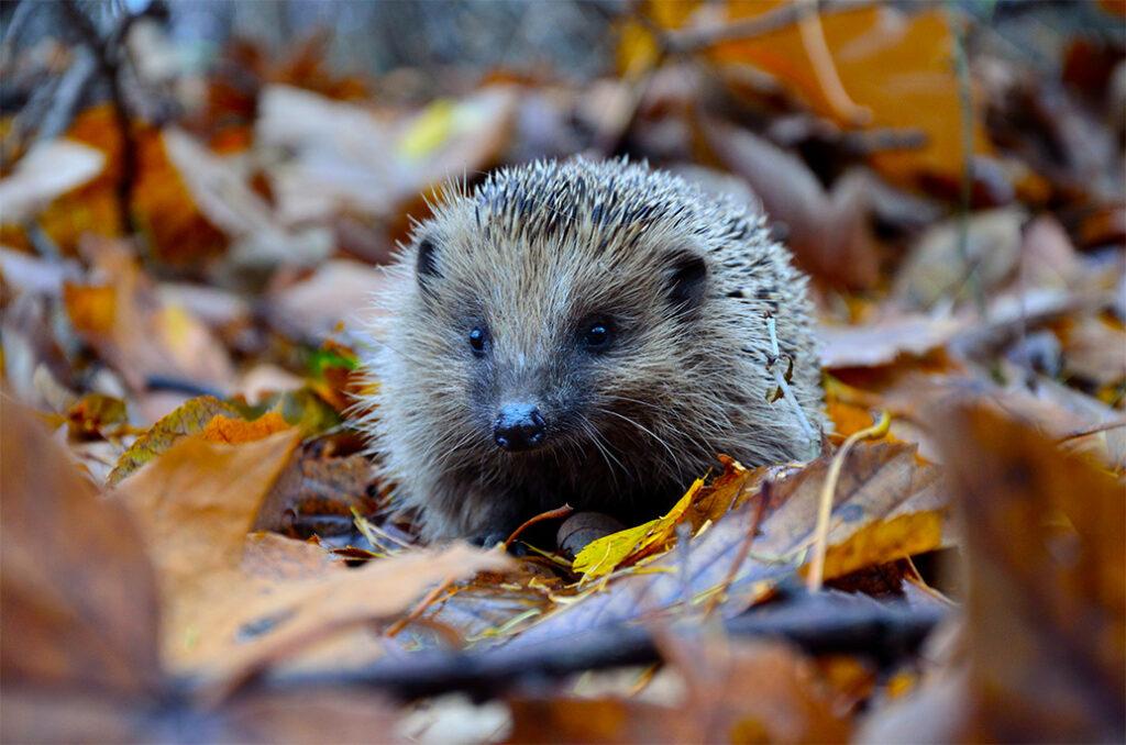 Volta Hedgehog