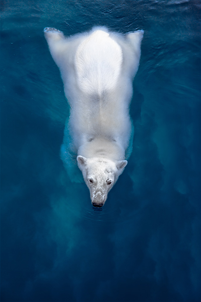 Volta Polar Bear Swimming