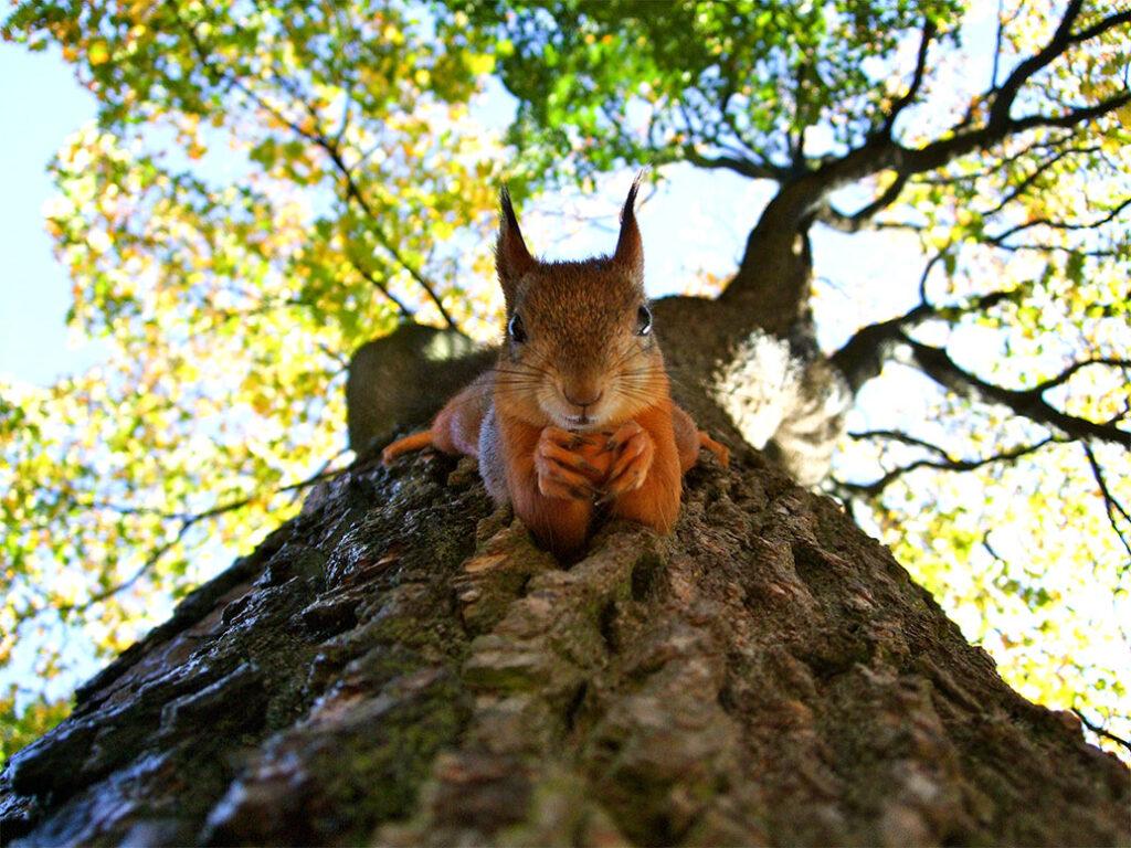 Volta Squirrel