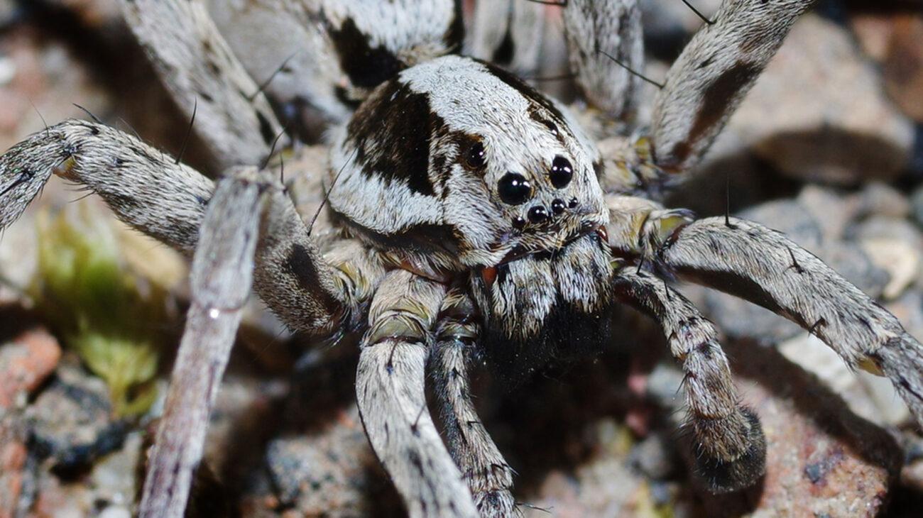 Volta Great fox spider Alopecosa fabrilis male c. Mike Waite Surrey Wildlife Trust 1