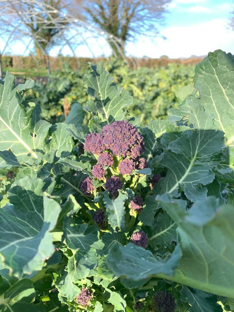 2020 01 28 Purple Sprouting Broccoli