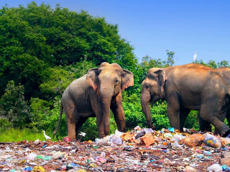 Elephants amidst plastic waste