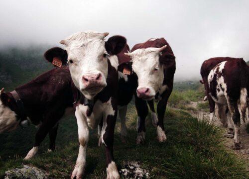 Diary cows, italy - Daniel Leone