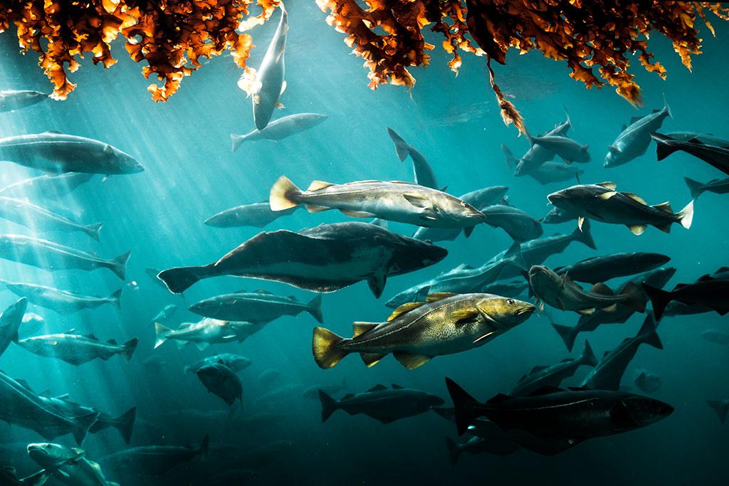 Cod in huge water tank in sea water park in Alesund, Norway.