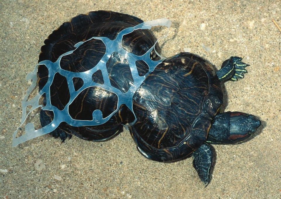 Peanut the Turtle Photo Credit Missouri Department of Conservation