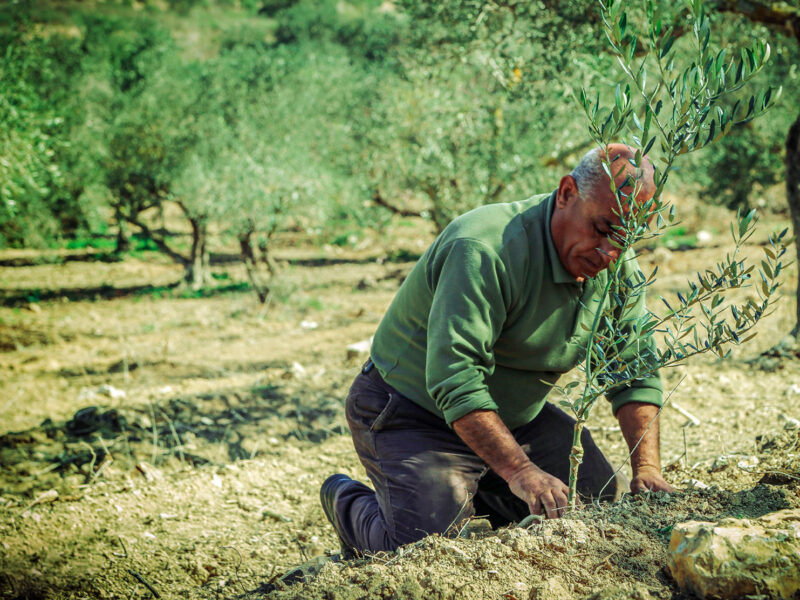 old man planting an olive tree. Nablus Mountains, Palestine, Earth Day