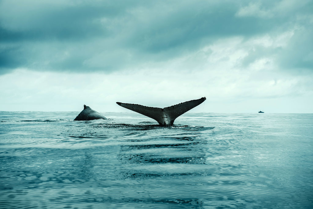 Two humpback whales seen while heading back to the Sea Shepherd vessel Bob Barker during Operation Albacore III in the Atlantic Ocean.  Photo by Flavio Gasperini