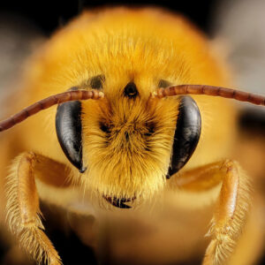 Macro photo of a honey bee