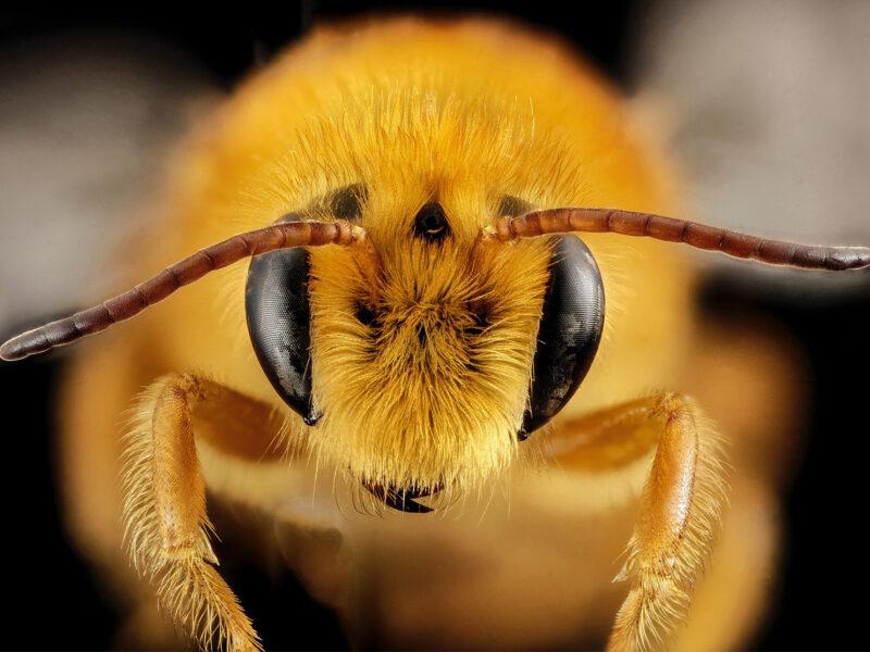 Macro photo of a honey bee
